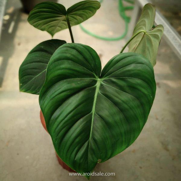 philodendron pastazanum, plants seller, plants shop, plants store, for sale, wholesale, plants supplier