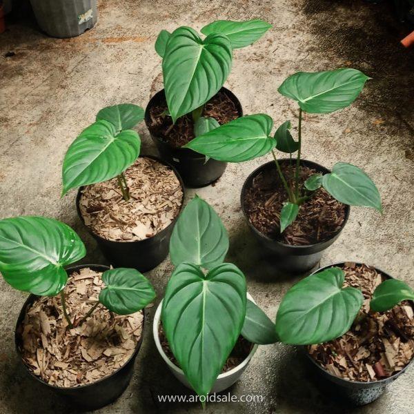 philodendron pastazanum, plants seller, plants shop, plants store, for sale, wholesale