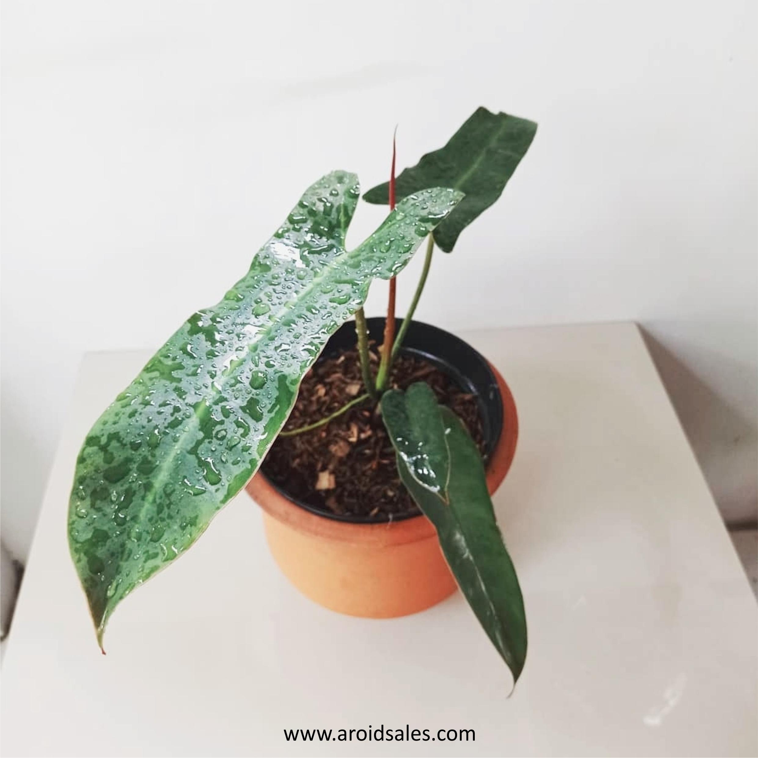 Philodendron Atabapoense, plants seller, plants shop, plants store, for sale, wholesale, plants supplier
