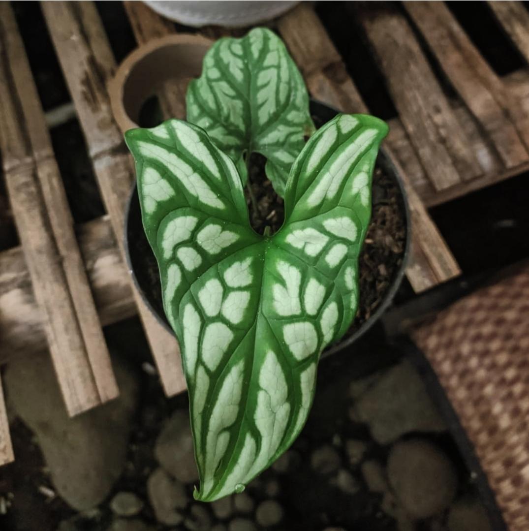 Cercestis Mirabilis for sale, wholesale, plants seller, plants suplier, plants shop, plants care, USA CANADA EUROPE THAILAND