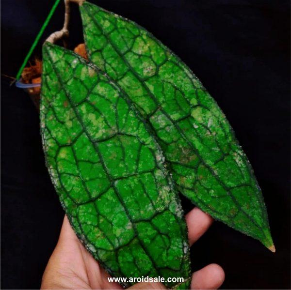 Hoya Clamensiorum, plants seller, plants shop, plants store, for sale, wholesale, plants supplier, care