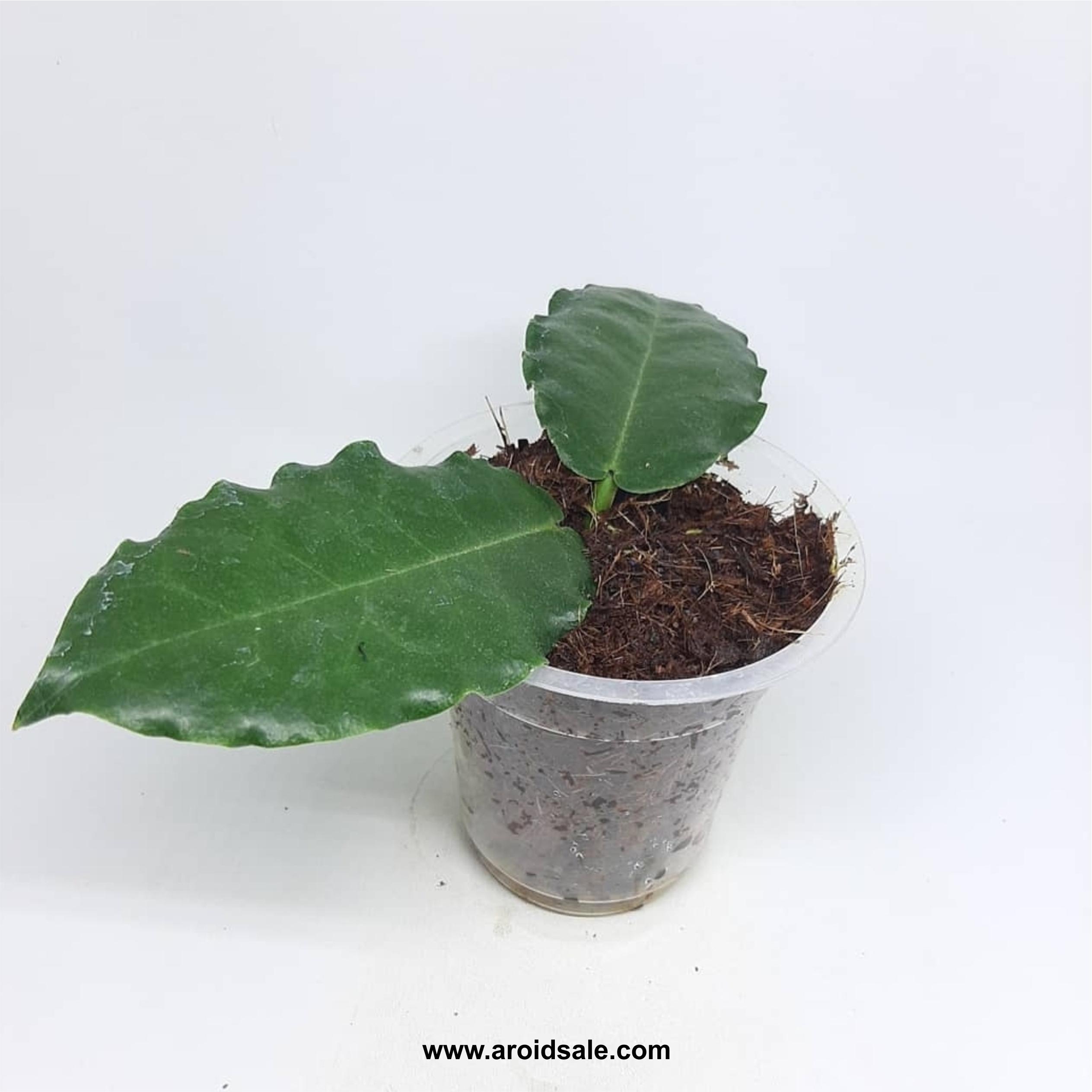 Hoya Verstegi Sp, plants seller, plants shop, plants store, for sale, wholesale, plants supplier, care