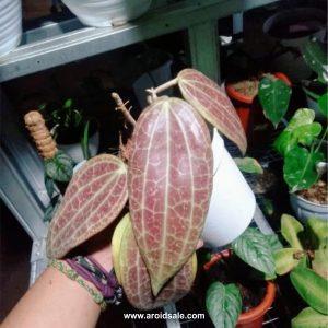 Hoya Macropylla Red