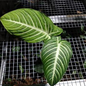 Xanthosoma Lindenii