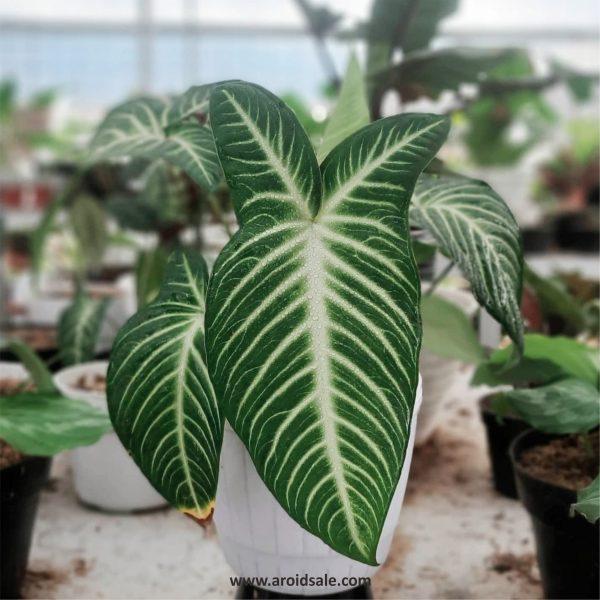 Xanthosoma Lindenii, plants seller, plants shop, plants store, for sale, wholesale, plants supplier