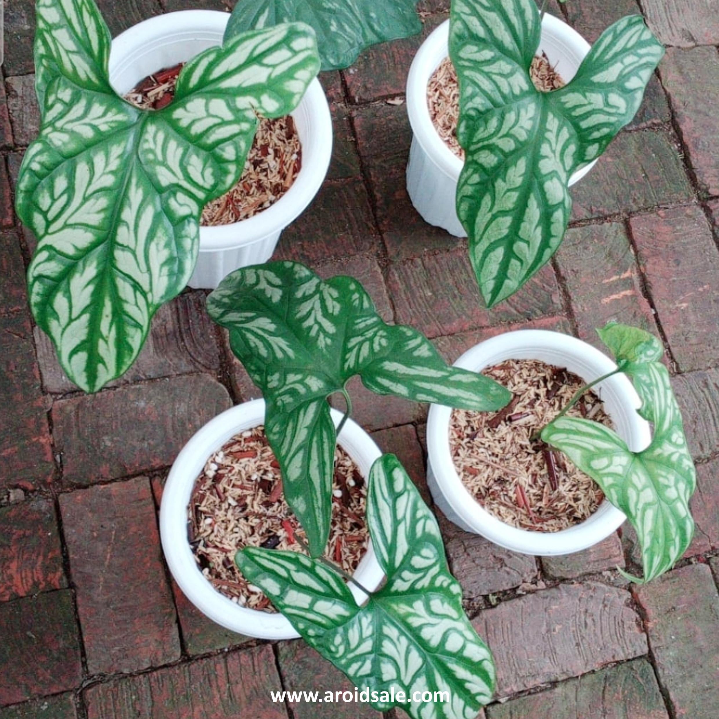 cercestis mirabilis, plants seller, plants shop, plants store, for sale, wholesale, plants supplier