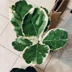 Ficus Lyrata Variegated
