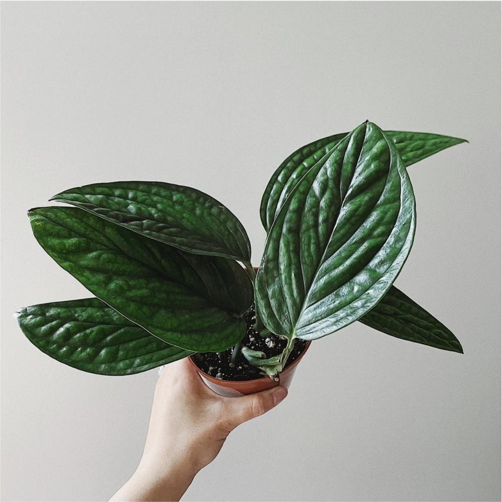 Monstera Peru Karstenianum for sale, wholesale, plants seller, plants suplier, plants shop, plants care, USA CANADA EUROPE THAILAND