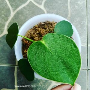 Philodendron Rugosum / Pigskin