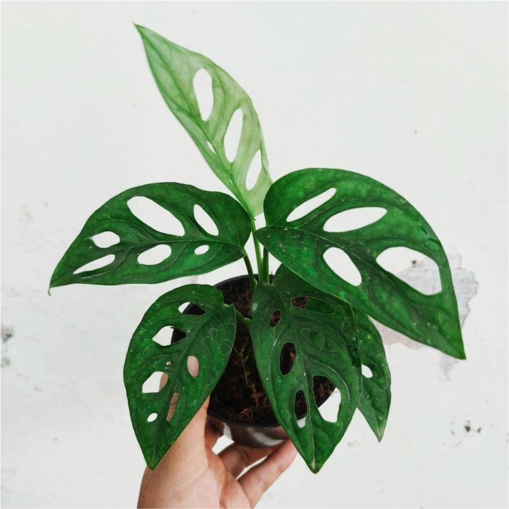 monstera acuminata for sale, wholesale, plants seller, plants suplier, plants shop, plants care, USA CANADA EUROPE THAILAND