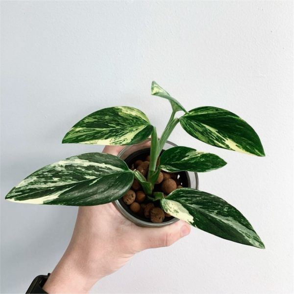 Monstera Standleyana Yellow Variegated for sale, wholesale, plants seller, plants suplier, plants shop, plants care, USA CANADA EUROPE THAILAND