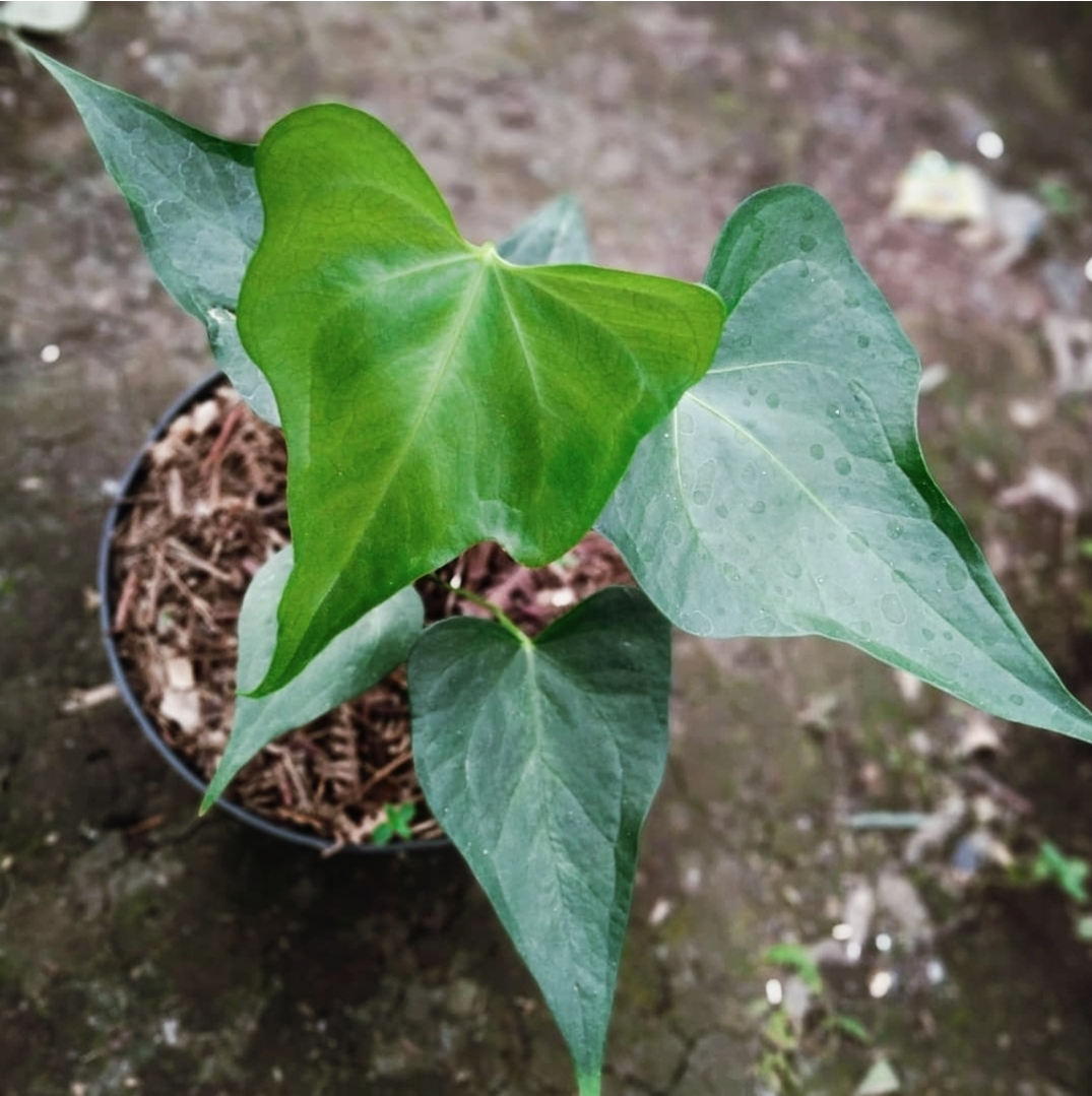 Anthurium Pterodactyl for sale, wholesale, plants seller, plants suplier, plants shop, plants care, USA CANADA EUROPE THAILAND