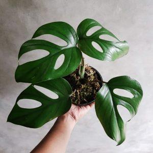 Rhaphidophora Pertusa