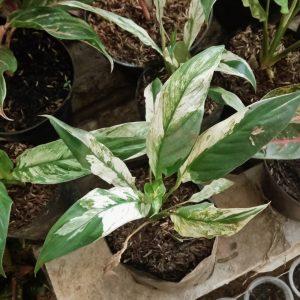 Spathiphyllum Variegated