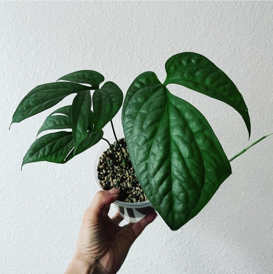 Amydrium Silver for sale, wholesale, plants seller, plants suplier, plants shop, plants care, USA CANADA EUROPE THAILAND